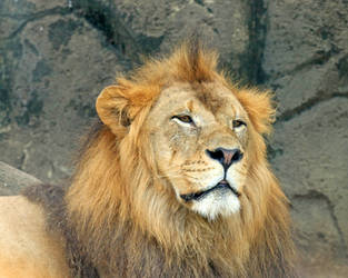 Mohawk Lion by Jack-13