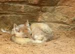 Swift Fox Self-Conscious