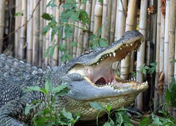 Laughing Gator by Jack-13