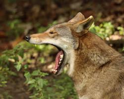 Wolfish Yawn by Jack-13
