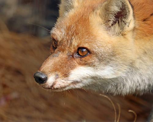 Eyes of the Kitsune