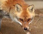 Curious Kitsune