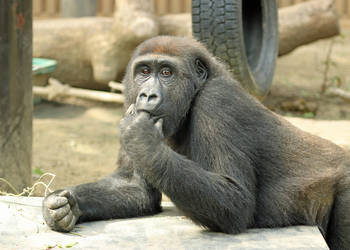 Intrigued Gorilla by Jack-13