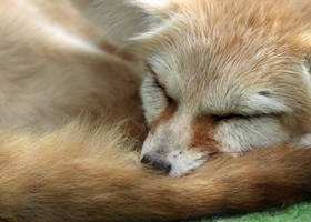 Fennec Naps by Jack-13