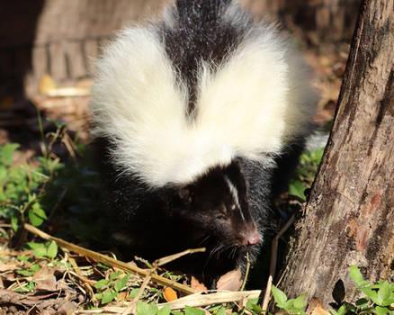 Exploring Skunk