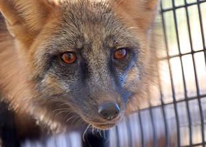 Cross Fox Whiskers