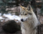 Wolf Yearling