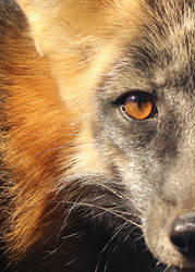 Cross Fox Close Up by Jack-13