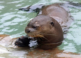 Happy Otter With Fish
