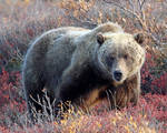 Brown Bear Evaluation