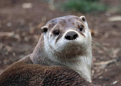 Otter Focus