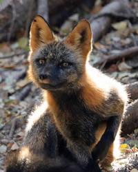 Smug Cross Fox