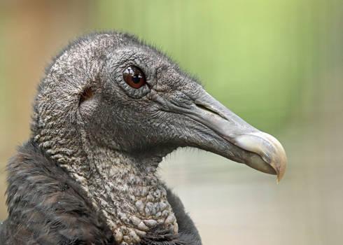 Vulture Profile