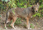 Red Wolf Evaluation
