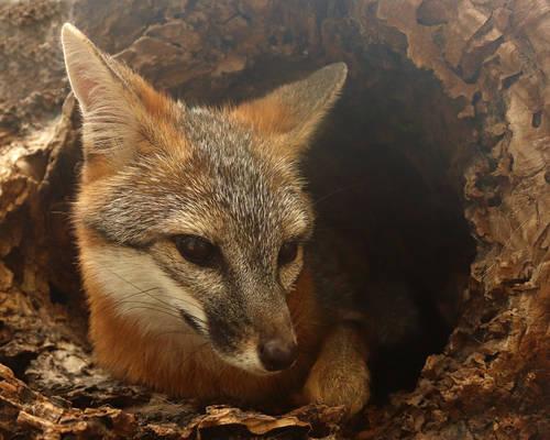 Fox's Log