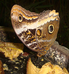 mariposa desayunando
