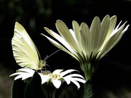 Cream - Butterfly by Ghostofart