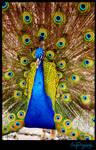 Peacock 1 by fsuseaangel