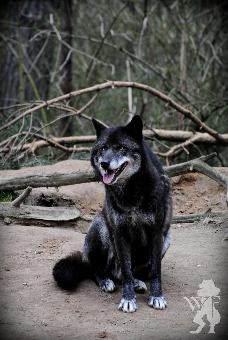 Wolf sitting down side view - photo#26