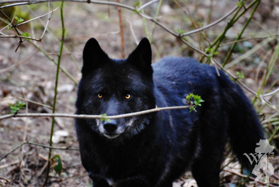 http://fc09.deviantart.net/fs71/i/2011/078/2/e/black_wolf_facing_by_silentwolfox-d3bzmlc.jpg