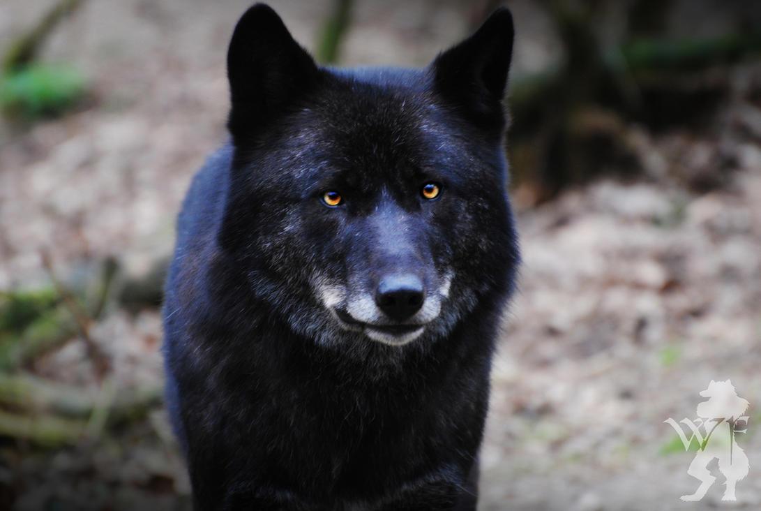 http://th05.deviantart.net/fs71/PRE/i/2011/078/4/8/black_wolf_facing_4_by_silentwolfox-d3bzso3.jpg