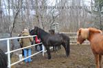 Icelandic Horse 4