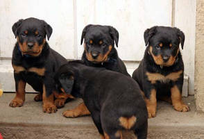 Mes wawas -rottweiler- by FlightHome