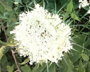 White Plant 2