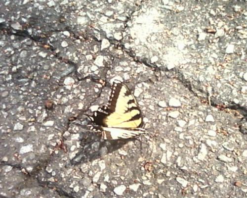 Butterfly on the Sidewalk