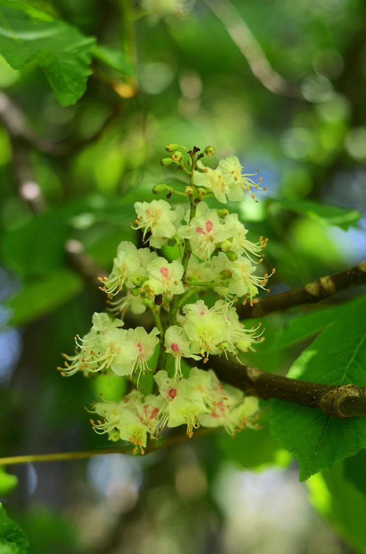 Chestnut Flower by sameternalchild21
