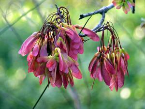 Pink Seeds