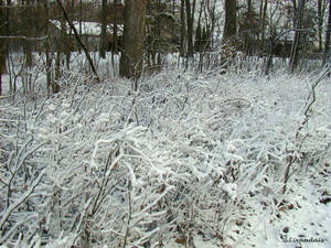 Thanksgiving 2004 - Iced Shrub