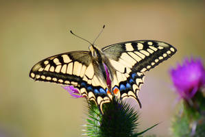 Old world swallowtail 1 by Ammyke
