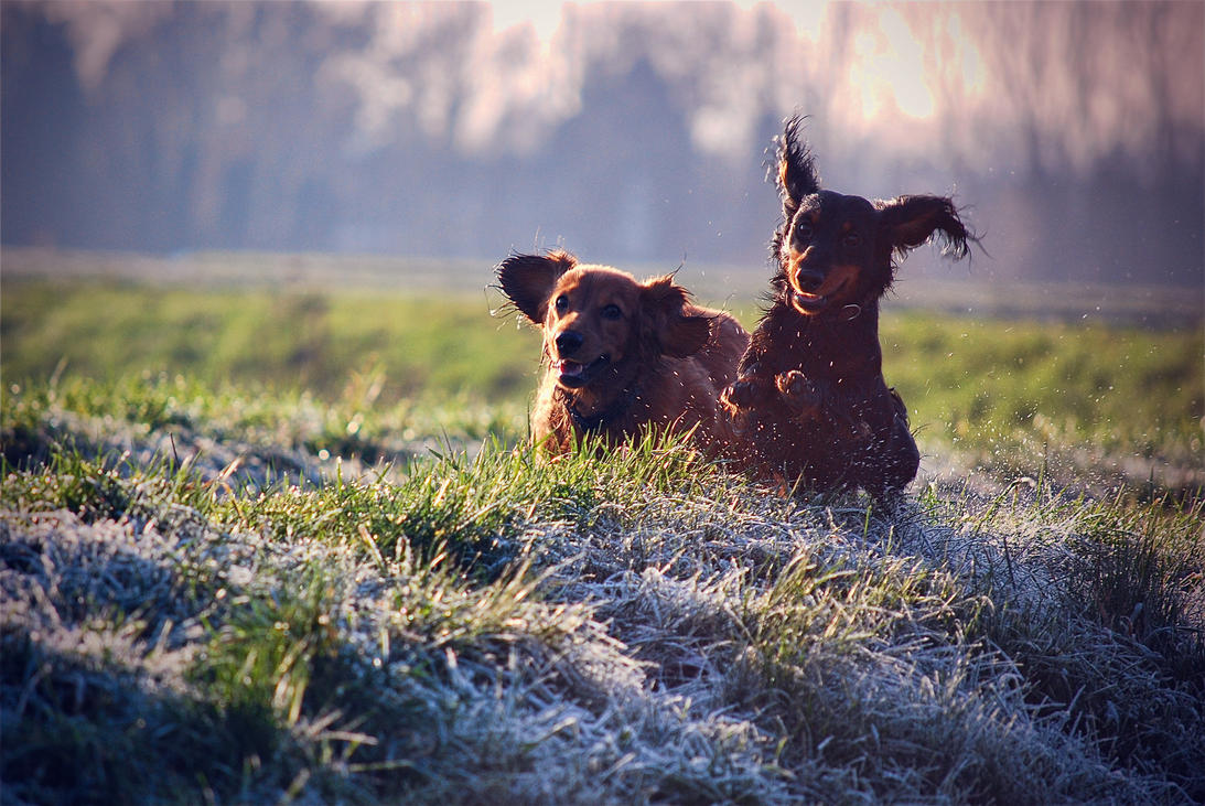 Happy dogs in morning dew by Ammyke