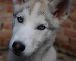 Husky pup by Ammyke