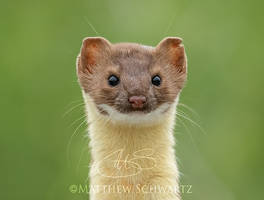 Long-Tailed Weasel Portrait by Nature-Photo-Master
