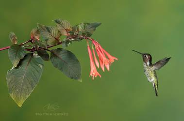Anna's Hummingbird at fuschia by Nature-Photo-Master