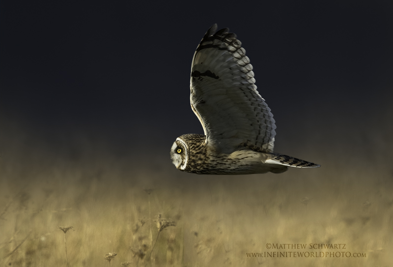 Short-eared Owl - Asio flammeus - composite image by Nature-Photo-Master