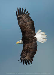 Bald Eagle Banking In Flight by Nature-Photo-Master