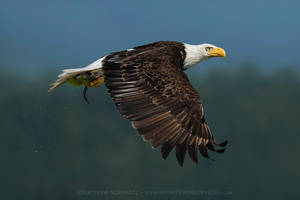 Bald Eagle in Flight with Midshipman Fish Prey by Nature-Photo-Master