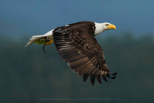 Bald Eagle in Flight with Midshipman Fish Prey