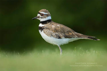 Killdeer surveying territory