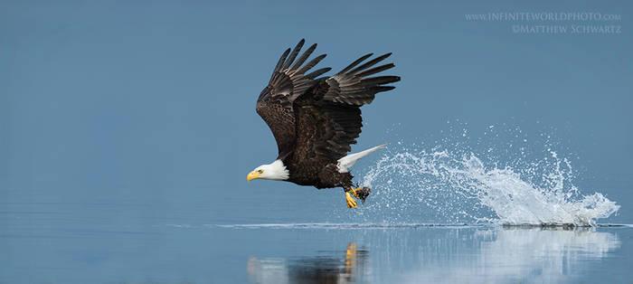 Bald Eagle Catching Fish