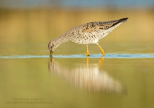 Yellowlegs In Evening