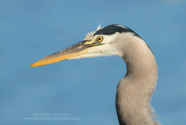 GBH Portrait by Nature-Photo-Master