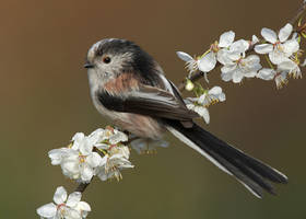 Long Tailed Tit by Albi748