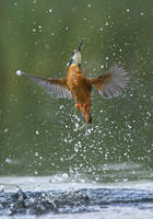 Kingfisher by Albi748