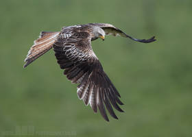 Red Kite by Albi748