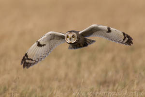 Short Eared Owl by Albi748