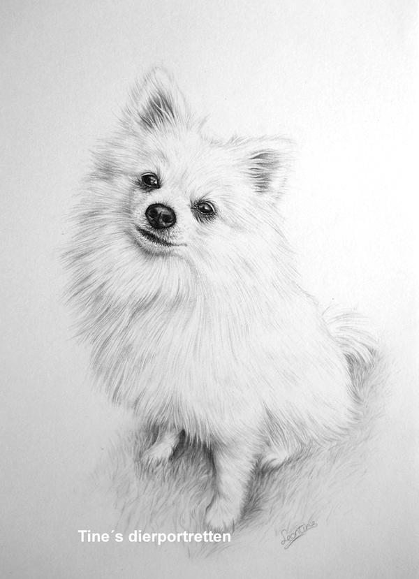 pomeranian dog drawing by tinesdierportretten